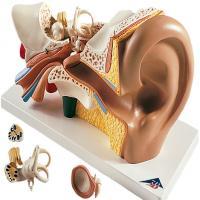 مولاژ گوش,ماکت گوش,مولاژ گوش انسان,ماکت گوش انسان,مولاژ انسان,ماکت انسان,فروش مولاژ گوش,فروش مولاژ,خرید مولاژ