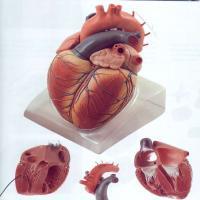 مولاژ قلب انسان ,مولاژ قلب ,مولاژ انسان , مولاژ مغز انسان,مولاژ,فروش مولاژ,خرید مولاژ,مولاژ انسان,مولاژ حیوانات,مولاژ بدن انسان,مولاژ حیوان,مولاژ مغز,مولاژ نیم تنه,مولاژ نیم تنه انسان